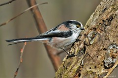 Mésange à longue queue (Aegithalos caudatus) (112)) (Didier Schürch) Tags: nature foret bois animal oiseau mésange aegithalos