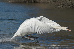 Low flying (Paul Wrights Reserved) Tags: swan swans swaniinflight wing wings splash splasing flying lowflying bird birds birdwatching birdinflight action actionphotography