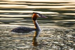 Svasso vibrante (Cristiano Pelagracci) Tags: svasso lake lago nature bird water sunset umbria trasimeno canon
