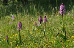 ddf00376F (m-klueber.de) Tags: ddf00376f ddf00376 20110501 orcmilixorcpurp orchis × x hybrida militaris purpurea helm purpur knabenkraut 2011 mkbildkatalog pflanze blume mitteleuropa mitteleuropäisch blütenfarbe unterfranken mainfranken orchidee orchidaceae habitus lebensraum habitat infloreszenz violett pflanzenwelt flora hybride hybrid bastard europäische