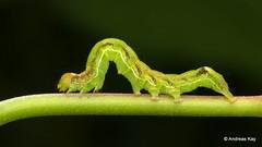 Inchworm, Erebidae semilooper (Ecuador Megadiverso) Tags: andreaskay caterpillar ecuador erebidae semilooper inchworm