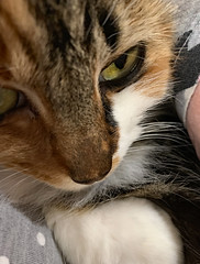 Fleurty Girl (BKHagar *Kim*) Tags: bkhagar cat kitty gato gatto feline fur eye eyes pet portrait calico callie kitten