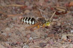 Rolf_Nagel-Fl-1046-Bembix_rostrata (Insektenflug) Tags: diggerwasp kreiselwespe gravehvepse digger wasp kreisel wespe grabwespe sandwespe rostrata bembixrostrata läppstekel bembicidae hymenoptera hautflügler sphecidae bembix schweden sverige sweden öland baltic ostsee island insel fliegend flying flight airborne wildlife action highspeed insects entomofauna entomologie fauna fliegen flug insekt insekten balticsea insect imflug inflight insektenflug minoltaerokkor75mm erokkor minolta rokkor 75mm envole en vole