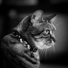 Choupette (Pierre Villanti) Tags: chat cat portrait canoneos5dmarkiv tamronsp90mmf28divcusdmacro11f017