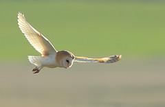 Barn Owl (minvallaa) Tags: barn owl hunting evening dorset