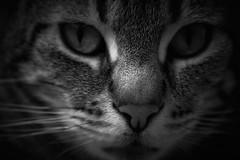 DSC_1361 2dia24 (María Parra Photography) Tags: gato cat portrait minimo felino animal pet mascota retrato blancoynegro blackandwhite nikond3400