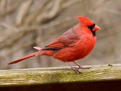 Cardinal, Cardinalis cardinalis, Male (24) (Herman Giethoorn) Tags: cardinal red bird