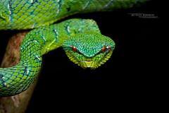 Tropidolaemus subannulatus (Matthieu Berroneau) Tags: tropidolaemus subannulatus tropidolaemussubannulatus bornean keeled green pit viper borneankeeledgreenpitviper pitviper sony alpha ff 24x36 macro nature wildlife animal fe 90 f28 g oss fe90f28macrogoss sonya7iii sonya7mk3 sonyalpha7mark3 sonyalpha7iii a7iii 7iii 7mk3 sonyilce7m3 sonyfesonyfe2890macrogoss objectifsony90mmf28macrofe sel90m28g herp herping trip malaysia malaisie borneo bornéo reptile reptilian reptilia serpent trimeresurus