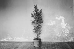My ''Leon'' tree (samsara ilknur donmez) Tags: leontheprofessional samsarailknurdonmez agac tree cypress selvi vasiyet