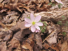 windflower (Carolina Victory) Tags: bahama wildflowers northcarolina
