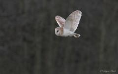 LQ5A3758 (larysaflack) Tags: barn owl hunting bird prey