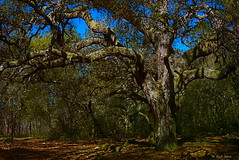 Old Spreading Oak Tree (surfcaster9) Tags: oak tree florida woods lumixzs50 lumix20mmf17llasph forest nature outdoors