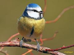 Herrerillo común  (Cyanistes caeruleus) (19) (eb3alfmiguel) Tags: aves pájaros insectívoros passeriformes paridae herrerillo común cyanistes caeruleus