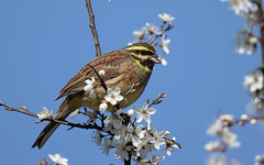 Cirl bunting m (Steve Balcombe) Tags: bird cirl bunting emberiza cirlus male blackthorn sloe bloom eating flowers rspb labradorbay devon coast uk