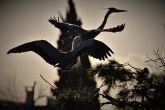 héron cendré 19C_1538 (Bernard Fabbro) Tags: héron cendré grey heron