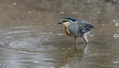Green-backed Heron -8906 (Theo Locher) Tags: birds butoridesstriata greenbackedheron groenrugreier oiseaux vogels vögel zuidafrika southafrica krugernationalpark kruger copyrighttheolocher