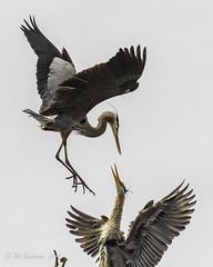 Great Blue Herons (Bob Gunderson) Tags: herons greatblueheron stowlake goldengatepark san fraancisco california birds ardeaherodias