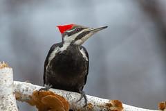 Mrs Pileated Woodpecker_49811-.jpg (Mully410 * Images) Tags: female birdwatching birding backyard woodpecker bird birds birder pileatedwoodpecker