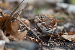 Fox Sparrow-49870.jpg (Mully410 * Images) Tags: bird birdwatching birding foxsparrow backyard birds birder sparrow