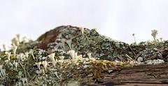 Lichen Hill (jmunt) Tags: lichen microlandscape pixiecups cladonia