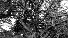 Pin (bernard.bonifassi) Tags: canonpowershotsx60hs bb088 noiretblanc monochrome arbre pin 06 alpesmaritimes 2019 avril printemps thiery forêt