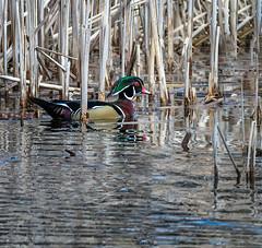 Reed Glider (Portraying Life, LLC) Tags: cropapsc da3004 hd14tc k1mkii michigan pentax ricoh topazaiclear unitedstates bird closecrop handheld nativelighting duck pond cattails