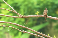 APALIS KUNGWE (Ezio Donati is ) Tags: uccelli birds animali animals alberi trees foresta forest natura nature westafrica costadavorio arealamto