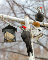 Mr and Mrs Pileated Woodpecker-7286.jpg (Mully410 * Images) Tags: female birdwatching birding mates feeder backyard pair bird birds male birder pileatedwoodpecker suet woodpecker