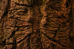 Dialogue (♫ marc_l'esperance) Tags: natureabstract treetrunk bark pattern faces face carlzeissjena50mmf18 pancolar zebra 8blade nocrop burnaby bc canada marclesperancephoto 2019 park evening light abstraction selection