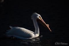 20190408-DSC_7388.jpg (GrandView Virtual, LLC - Bill Pohlmann) Tags: bird americanwhitepelican wisconsin wildlife waterfowl stcroixriver northhudsonwi