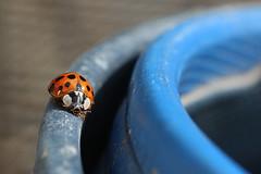 Circuit - Racetrack (Arnadel) Tags: coccinelle crocs circuit insectes sandale ladybug insect sandal lamballe britain bretagne
