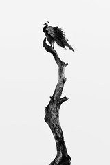 On the Top (Gomen S) Tags: bw blackandwhite tropical 2018 afternoon abstract animal wildlife nature bird srilanka 80400mm d500 nikon