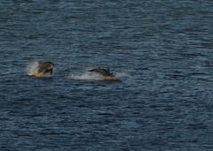 IMG_5428 (monika.carrie) Tags: monikacarrie wildlife scotland aberdeen dolphins dolphin cetacean mammals