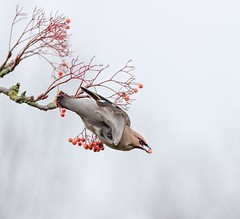 Waxwing Taking Flight (Chris Willis 10) Tags: bird animal nature wildlife flying pigeon feather beak animalwing outdoors white dovebird seagull animalsinthewild flockofbirds beautyinnature closeup backgrounds nopeople flight berry