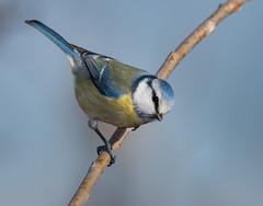 Blue tit (Tomato BG) Tags: bluetit bird nikon d500 handheld sigma150600c magbeam