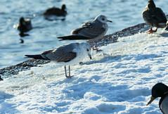 Mielensäpahoittanut Lokki (TheSaOk) Tags: gull lokki flying bird linty lintukuva yleluonto