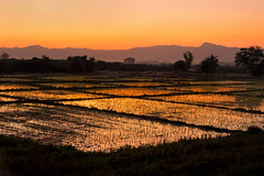 Rice and Shine (Carl's Captures) Tags: rice paddy field agriculture staple crops rows patterns lins seed diamonds diagonals rural landscape production pathways farming nature horizon trees flora mountains hazy silhouettes shadows lamphunprovince northernthailand southeastasia asian thai siam banks wet irrigated irrigation orangecrush tequilasunrise morning sunrise dawn daybreak carrotjuice pasangdistrict goldenhour gold reflections glowing backlight muddy nikond7500 sigma18300 photoshopbyfehlfarben thanksbinexo