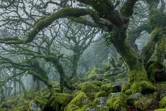 Wistman's Wood (Michael Hallahan) Tags: devon dartmoor woods fog mist blue green landscape nationalpark national park wood forest trees rocks moss wistman wistmans ancient oak woodland