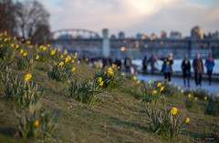 The Hills Have Flowers (Clayton Perry Photoworks) Tags: vancouver bc canada winter explorebc explorecanada englishbay daffodils flowers burrardstreetbridge bokeh