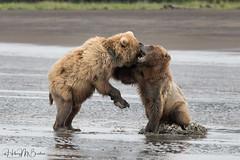_HB32669 (Hilary Bralove) Tags: lakeclarknationalparkbrownbearsbearsalaskanikonwildlifegrizzlygrizzlybearbrownbearanimalswildlifephotographer alaksa brownbears grizzlybears bear bears grizzly brownbeargrizzly bearlake clarkwildlifealaska wildlifenikonlake clark national park