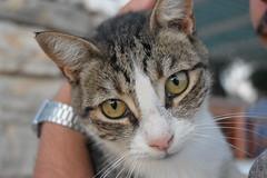 (unciclamino) Tags: gatto cat eyes greece greek summer