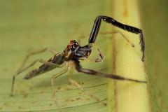 Itata completa (Scrubmuncher) Tags: spider jumpingspider salticidae osapeninsula costarica itata macro arachnid