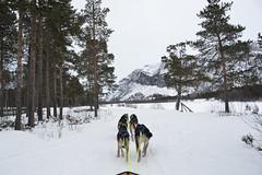 Husky Sledding (Seventh Heaven Photography *) Tags: husky dogs alta northern north norway arctic snow trees view panorama pines rock mountain sledding sled trastitrines sorrisniva nikond3200