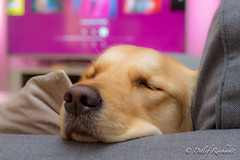 dreamland (D.Reichardt) Tags: europe germany animal dog goldenretriever sleep dream cozy cute
