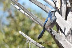 Florida Scrub Jay along Canaveral Seashore Road (wayne kennedy EDD) Tags: floridascrubjay scrubjay jay bird merrittislandnationalwildliferefuge