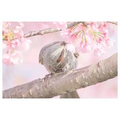 ヒヨドリ (HAL_SYLPH) Tags: bird animal nature wildlife xh1 fujifilm xf100400mm pronegastd
