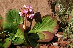 Bergenie (Bergenia) (HEN-Magonza) Tags: botanischergartenmainz mainzbotanicalgardens rheinlandpfalz rhinelandpalatinate deutschland germany frühling spring flora bergenie bergenia