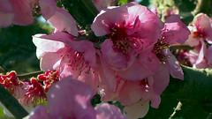 Les últimes flors d'Aitona