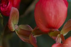 Among roses (R. M. Marti) Tags: flores hojas planta flor naturaleza color suave aterciopelada tallo pétalos agua gotas flowers leaves plant flower nature soft velvety stalk petals water drops