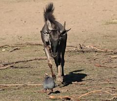 wildebeast Burgerszoo 094A0492 (j.a.kok) Tags: animal africa afrika antilope wildebeast gnoe gnu mammal zoogdier dier herbivore burgerszoo burgerzoo